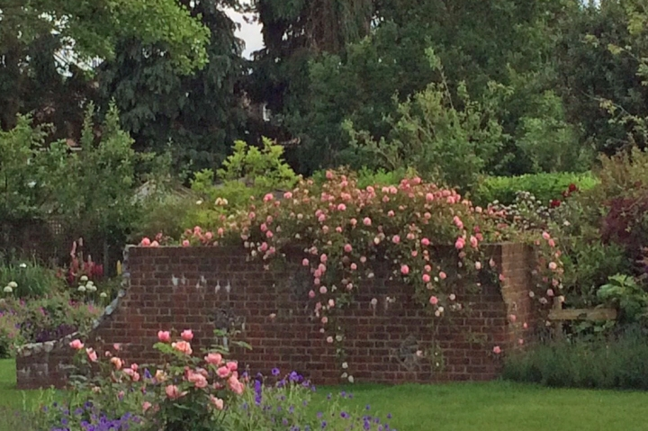 Dermot's roses, June 2016
